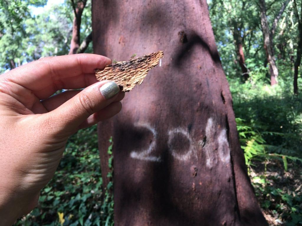 Sobreiro, a árvore da cortiça!