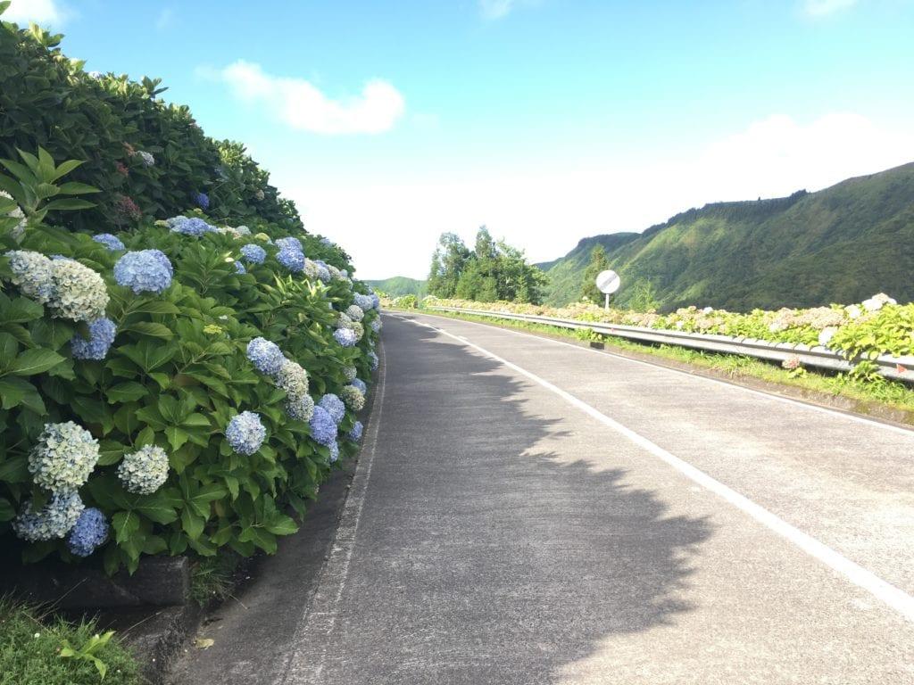 Hortências nos Açores
