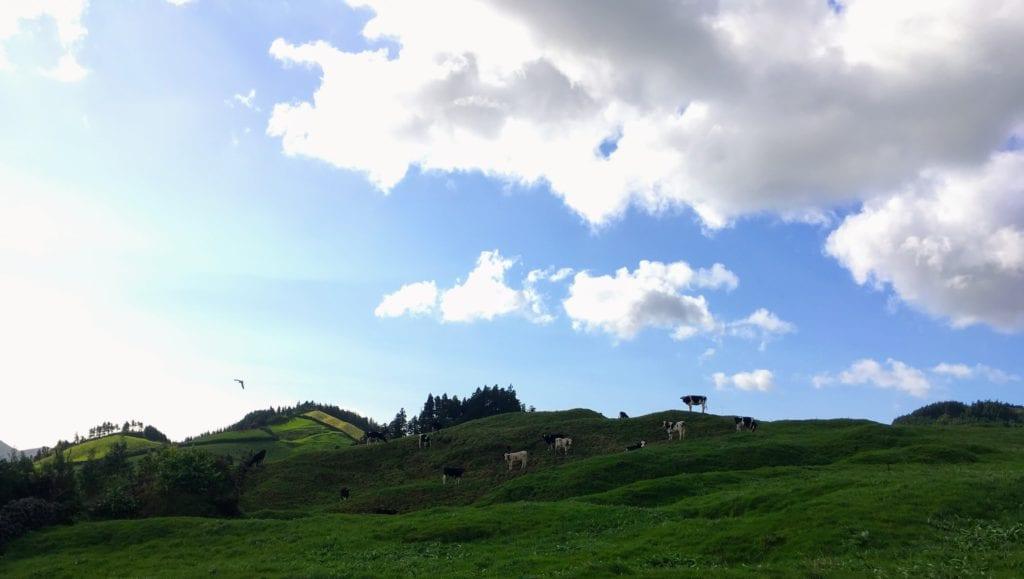 Vacas em São Miguel, Açores, Portugal.