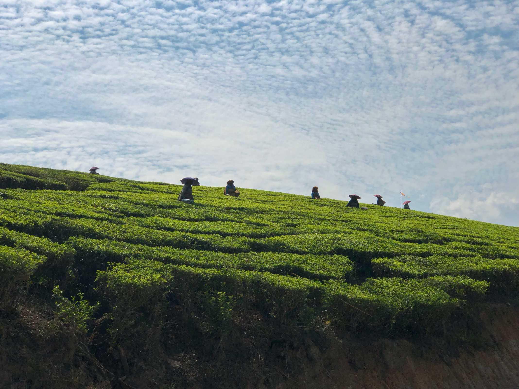 Trabalhadoras Plantações de chá na Índia