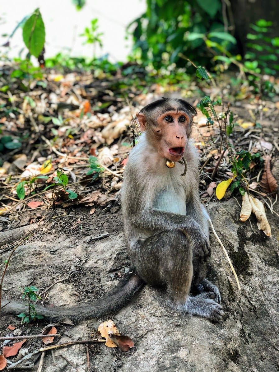 Monkeys edakkal Caves