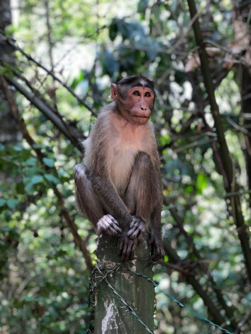 Macacos em Wayanad na Índia