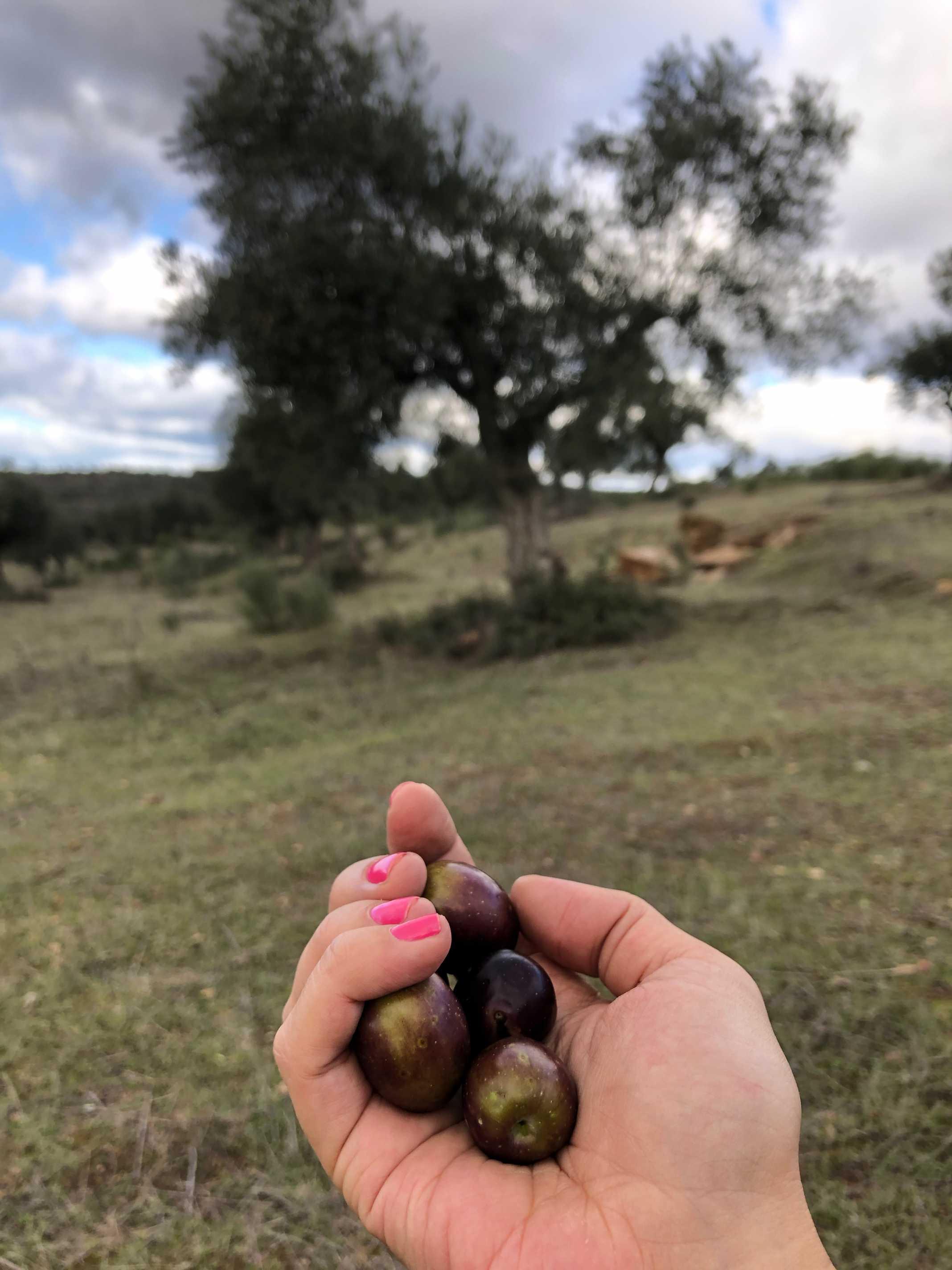 Azeitonas Portugal