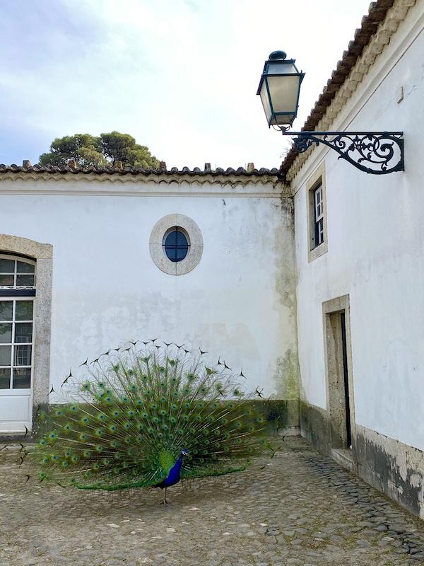 pavão palacio pimenta